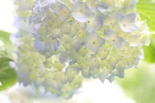 紫陽花の写真素材 [FYI01231218]
