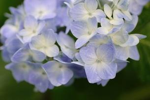 紫陽花の写真素材 [FYI01231219]