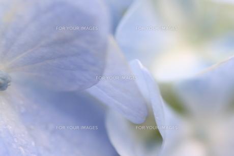 紫陽花の写真素材 [FYI01231220]
