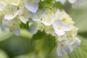 みずいろの紫陽花の写真素材 [FYI01231222]