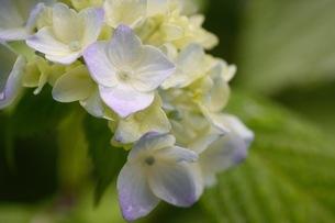 みずいろの紫陽花の写真素材 [FYI01231223]