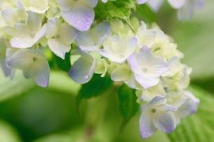 紫陽花の写真素材 [FYI01231226]