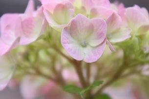 紫陽花の写真素材 [FYI01231227]