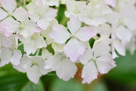 ピンクの紫陽花の写真素材 [FYI01231297]