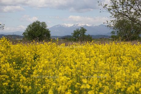 角田市の菜の花畑の写真素材 [FYI01231299]