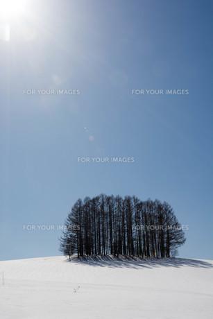 晴れた雪の丘の上のカラマツ林 美瑛町の写真素材 [FYI01231576]