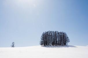 晴れた雪の丘の上のカラマツ林 美瑛町の写真素材 [FYI01231577]
