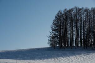 晴れた雪の丘の上のカラマツ林 美瑛町の写真素材 [FYI01231580]