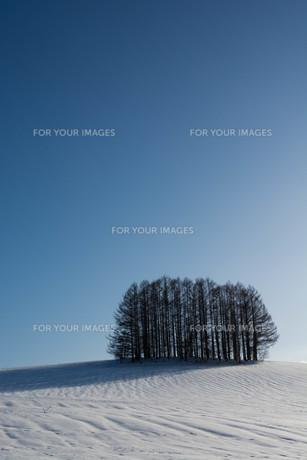 晴れた雪の丘の上のカラマツ林 美瑛町の写真素材 [FYI01231581]