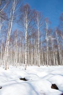 冬のシラカバ林の写真素材 [FYI01231593]