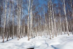冬のシラカバ林の写真素材 [FYI01231594]