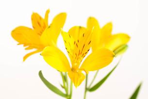 白背景の黄色いアルストロメリアの写真素材 [FYI01231602]