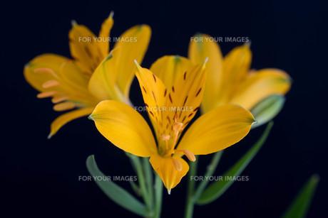 黒背景の黄色いアルストロメリアの写真素材 [FYI01231603]
