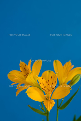 青背景の黄色いアルストロメリアの写真素材 [FYI01231604]