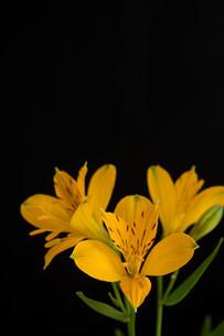 黒背景の黄色いアルストロメリアの写真素材 [FYI01231605]