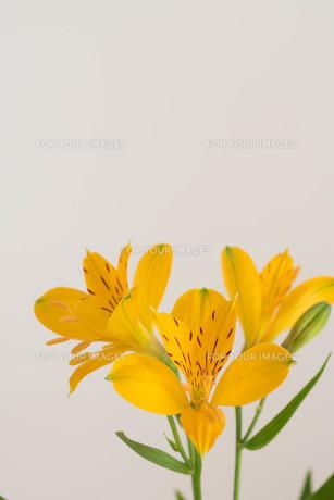 白背景の黄色いアルストロメリアの写真素材 [FYI01231606]
