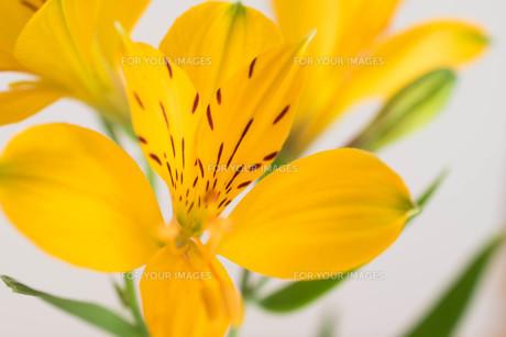 白背景の黄色いアルストロメリアの写真素材 [FYI01231607]