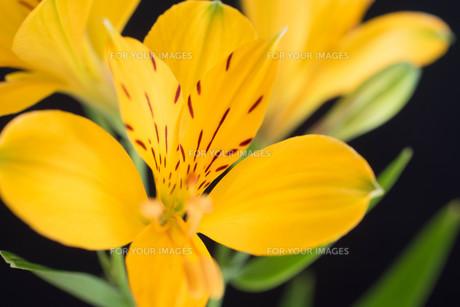 黒背景の黄色いアルストロメリアの写真素材 [FYI01231608]