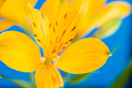 青背景の黄色いアルストロメリアの写真素材 [FYI01231609]