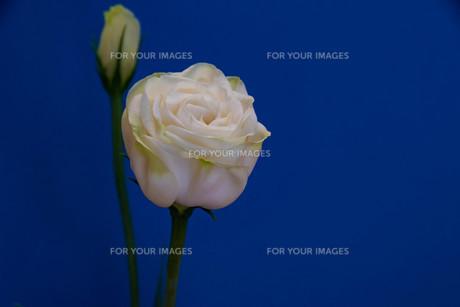 青背景の白いトルコキキョウの写真素材 [FYI01231610]