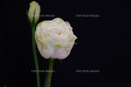 黒背景の白いトルコキキョウの写真素材 [FYI01231611]
