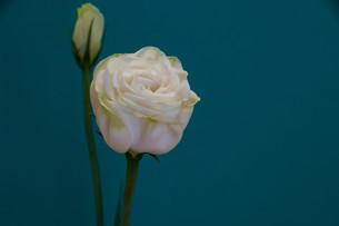 緑背景の白いトルコキキョウの写真素材 [FYI01231612]
