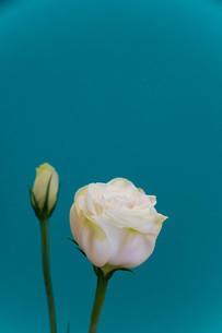 緑背景の白いトルコキキョウの写真素材 [FYI01231613]
