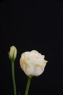 黒背景の白いトルコキキョウの写真素材 [FYI01231614]