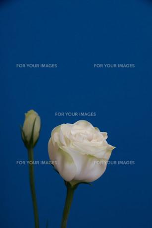 青背景の白いトルコキキョウの写真素材 [FYI01231615]