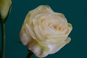 緑背景の白いトルコキキョウの写真素材 [FYI01231616]