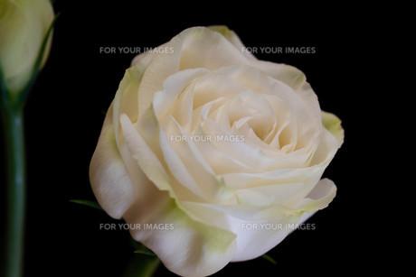 黒背景の白いトルコキキョウの写真素材 [FYI01231617]
