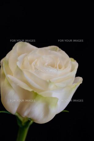 黒背景の白いトルコキキョウの写真素材 [FYI01231619]