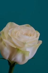 緑背景の白いトルコキキョウの写真素材 [FYI01231620]
