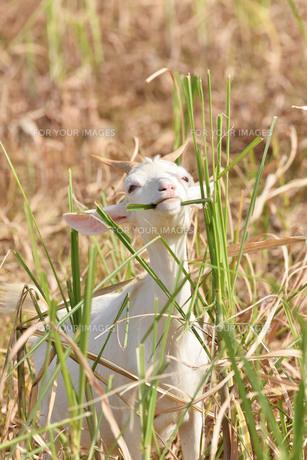 宮古島/山羊の写真素材 [FYI01231663]