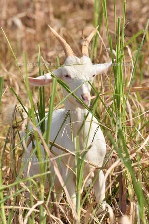 宮古島/山羊の写真素材 [FYI01231668]