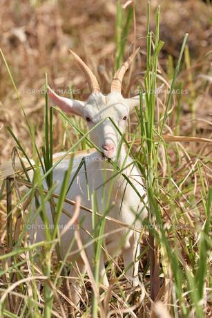 宮古島/山羊の写真素材 [FYI01231677]