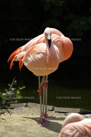 フラミンゴの写真素材 [FYI01231693]