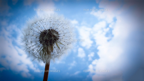 タンポポと空の写真素材 [FYI01231920]