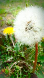 セイヨウタンポポ(花と綿毛)の写真素材 [FYI01231921]