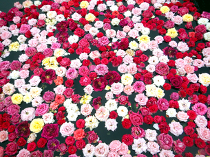 水面に浮かんだ一面の薔薇の花の写真素材 [FYI01231981]