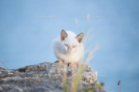 青い瞳の白い子猫の写真素材 [FYI01232209]