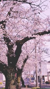 桜街並みの写真素材 [FYI01232238]