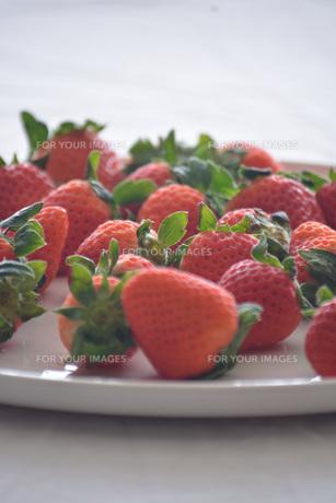 苺の写真素材 [FYI01232499]
