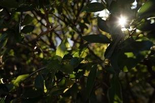 木漏れ日 (夕陽)の写真素材 [FYI01232513]
