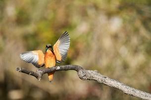 枝に止まる瞬間のカワセミの写真素材 [FYI01232681]