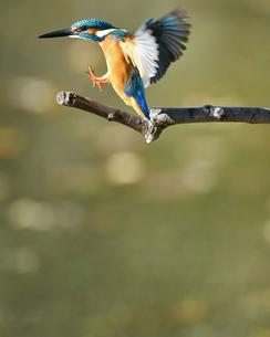 枝に止まる瞬間のカワセミの写真素材 [FYI01232682]