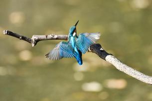 枝に止まる瞬間のカワセミの写真素材 [FYI01232683]
