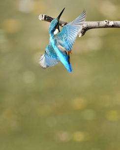 枝に止まる瞬間のカワセミの写真素材 [FYI01232684]