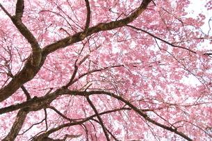 桜の花の写真素材 [FYI01232736]