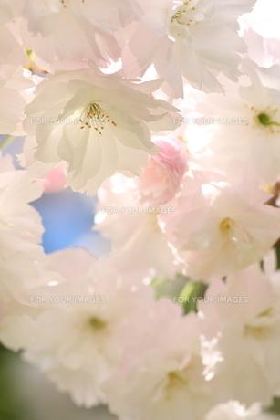 八重桜の写真素材 [FYI01232739]
